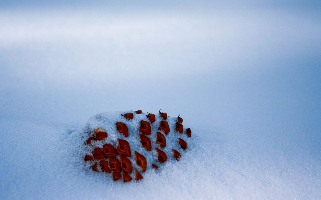 A single pine cone in the snow
